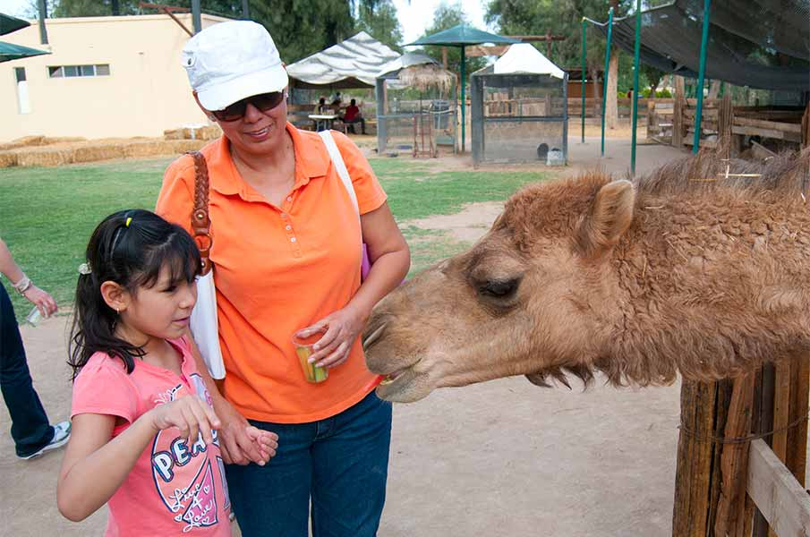 Camel at the zoo, in Mexicali, MEXICO