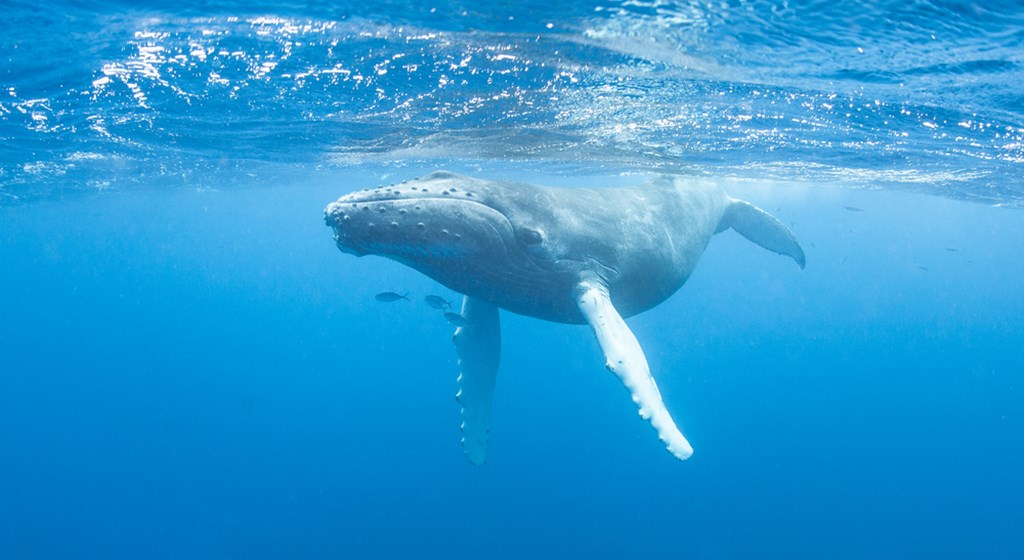 The Giant Blue Whale