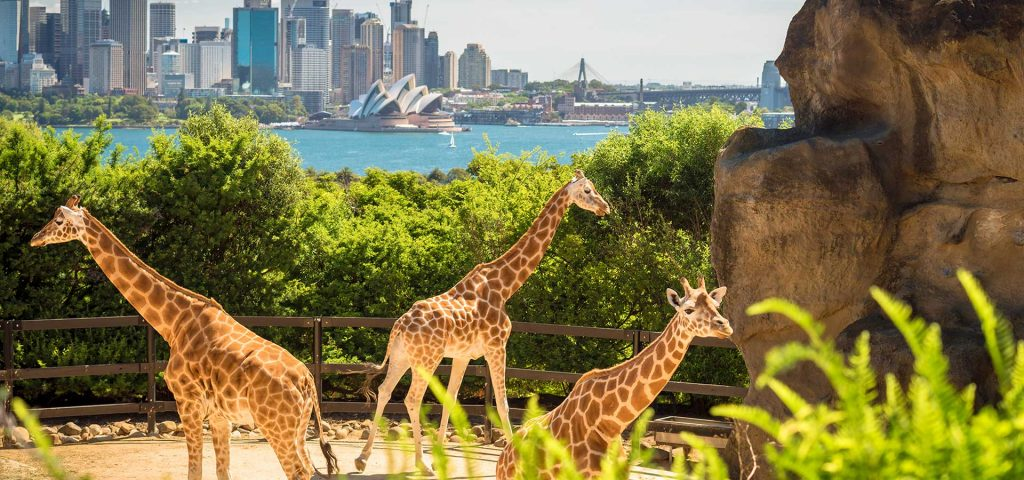 Giraffes with beautiful Sydney, NSW, Australia
