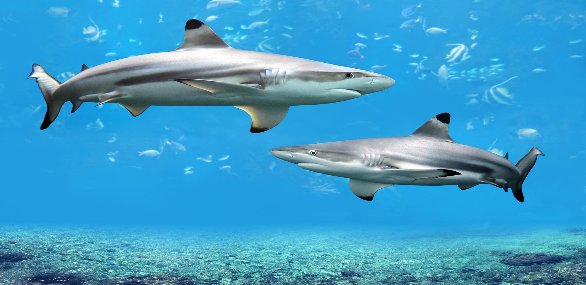 Black Reef sharks swimming