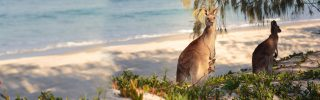 Kangaroos on the beach in Bribie Island