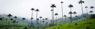 Tallest palm trees, Colombia