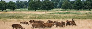 Red Deer hinds in Richmond Park, London