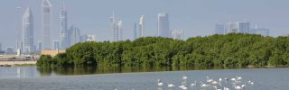 Greater flamingo's in Dubai, United Arab Emirates